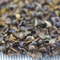 供应金鸡菊种子 百日草种子 金鸡菊种子出售 黑龙江花卉种子