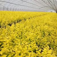 东北金叶榆播种小苗 一年生金叶榆小苗 播种金叶榆小苗 金叶榆