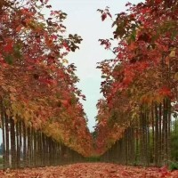 天津红叶复叶槭 红叶复叶槭基地 大量批发出售3公分红叶复叶槭