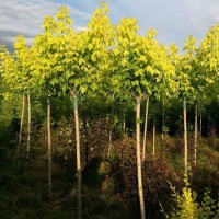 金叶复叶槭/红叶复叶槭