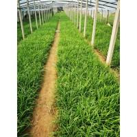峪苔草营养杯苗
