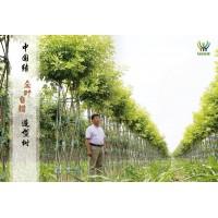 特有中国结白蜡造型树,山东白蜡镂空造型树 专业供应白蜡造型树