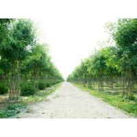 中国结白蜡造型树