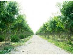 白蜡造型树
