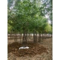 海棠造型树供应,中国结海棠造型树大量上市供应销售 海棠造型树