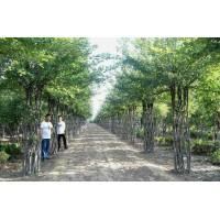 中国结海棠造型树