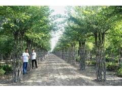 海棠造型树
