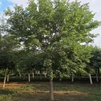 600亩园林苗木供应 元宝枫3-6公分友情价大量供应 元宝枫
