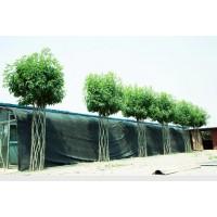 白蜡造型树,白蜡中国结造型树,国内专供白蜡结节造型树 白蜡树