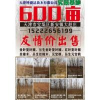 天津坤盛达苗木供应丛生金叶复叶械5-8条 单条地径5-8公分