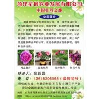 菏泽星创农业供应观赏牡丹、油用牡丹、盆栽牡丹、牡丹树系列