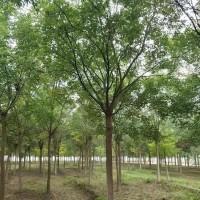 速生国槐树