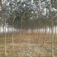 大量供应合欢 批发高规格园林工程合欢树 价格合理 文森苗木