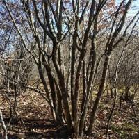 丛生茶条槭树