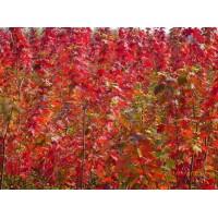 红枫扦插苗