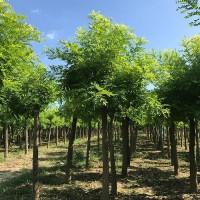 6-15公分平头刺槐价格,精品刺槐树,博野众信苗圃场