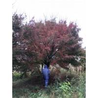 小叶鸡爪槭树