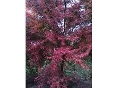 小叶鸡爪槭