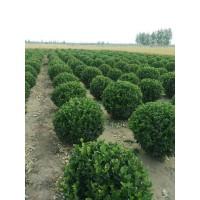 急求冠幅达到30-40公分瓜子黄杨毛球,高度65公分3万棵