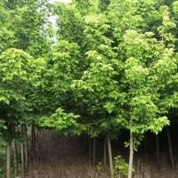 大量出货5条以上米径3cm以上丛生金叶复叶槭 金叶复叶槭