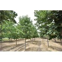 求购蒙椴5000棵,高1-3米,1-3公分均可
