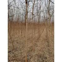 金叶复叶槭6公分50-70元大量供应 天津坤盛达金叶复叶槭