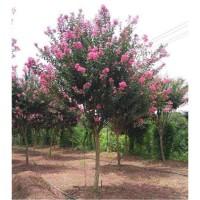 求购20-30紫薇树,有货源的朋友请联系