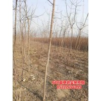 金叶复叶槭3公分7-10元,金叶复叶槭小苗大量供应 复叶槭