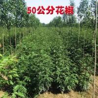 50公分花椒 焦作花椒树批发 花椒树 盛兴苗木大量供应花椒树