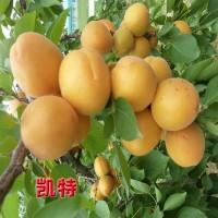 杏树苗大量供应 凯特杏树苗 武陟果树基地 盛兴苗木杏树大量供