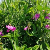 香豌豆花卉种子