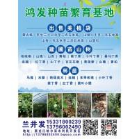 鸿发苗木供应蒙古栎一年生三十公分至二点五米高
