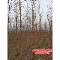 丛生金叶复叶槭5条以上米径3cm以上现货大量供应,坤盛达