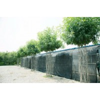 白蜡造型树、中国结白蜡造型树 中国结造型树专利 明烁农林科技