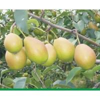 红香酥-八月底九月初成熟,红香酥梨树苗供应 盛兴苗木果树苗