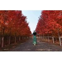 专业出售红枫,喜奎红枫,美国红枫,专业种植基地 提供技术指导