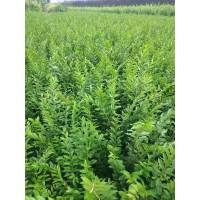 水蜡苗 水腊小苗厂家直销 水蜡树丛生水蜡苗 鸿发种苗繁育基地
