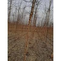 金叶复叶槭5公分25-35元,坤盛达金叶复叶槭苗大量清场销售