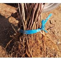 鸿发山丁子苗 40公分高山丁子苗供应价格 哈尔滨山丁子苗基地