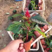 鸡冠花盆苗