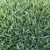 中华结缕草草坪