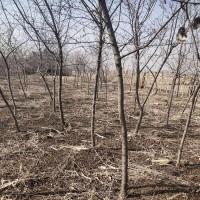 茶条槭球类 哈尔滨茶条槭基地 信誉苗圃专供各种规格茶条槭