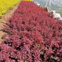 红叶小檗 红叶小檗种植基地 焦作红叶小檗苗大量 园野苗木基地