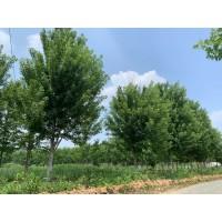 美国红枫精品树