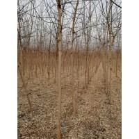 金叶复叶槭6公分50-70元 天津坤盛达苗木 金叶复叶槭处理