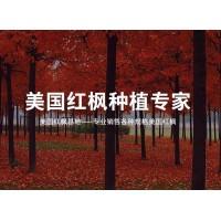 美国红枫秋火焰树