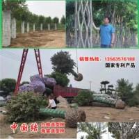 中国结节树 中国结白蜡树 山东明烁农林科技 白蜡造型树