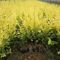 河北定植移栽法桐10-15公分金叶榆小苗 河北众信苗木场