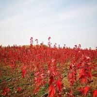 沈阳美国红枫 40公分红枫 庭院绿化红枫苗 喜奎红枫小苗批发