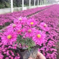 荷兰菊 荷兰菊价格 青州地被荷兰菊 潍坊众邦庭院绿植荷兰菊